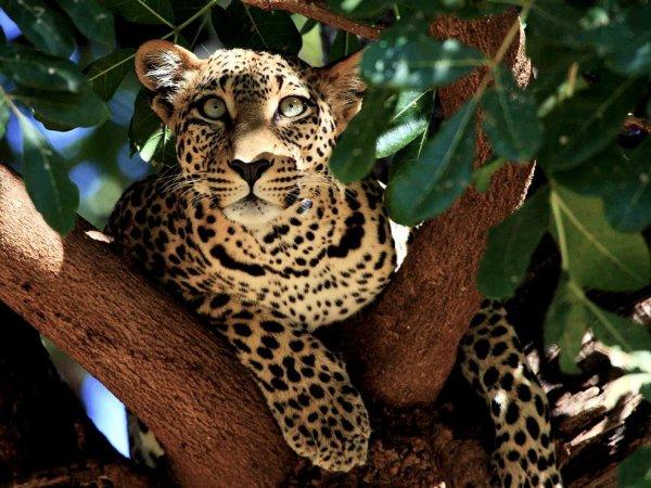 Fiche n�4 : Le l�opard ou panth�re