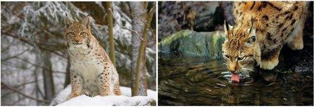 Le lynx Bor�al en France