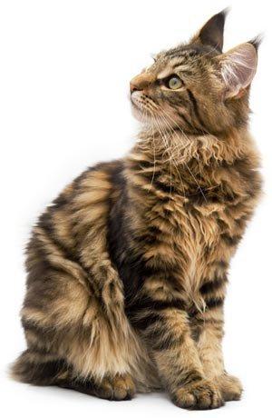 Le Maine Coon est un grand chat avec de grandes oreilles, une poitrine large, une ossature et une musculature fortes, un corps rectangulaire et musclé,