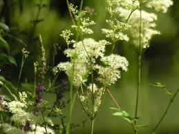 """Les """" Mauvaises Herbes """" comestibles : - La Reine des Prés"""