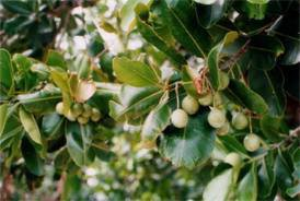 Plante 6 : Mandravasarotra