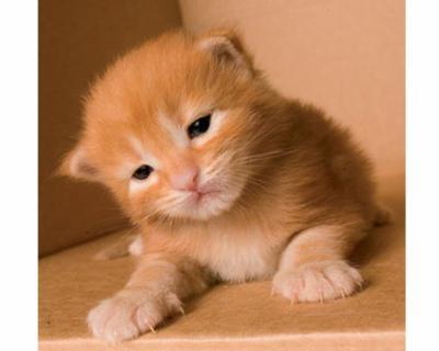 petit bébé chat roux