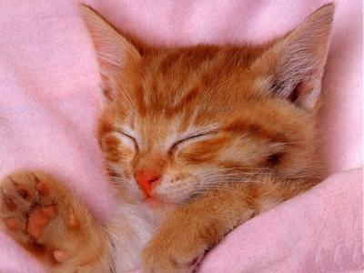 petit chat roux dans une couverture rose