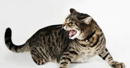 Le syndrome du tigre ou sociopathie f�line