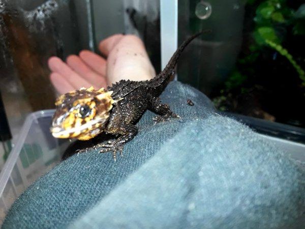 Mini Croc renommé Mini T-Rex !!