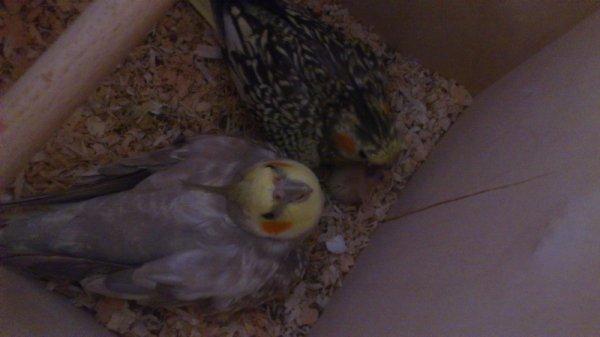 Voici mon couple de Calopsitte avec leur tout premier oisillon :-)
