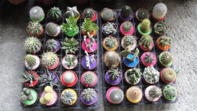 blog de stefcactus plantes et cactus. Black Bedroom Furniture Sets. Home Design Ideas