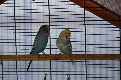 Mon couple de perruches reproductif
