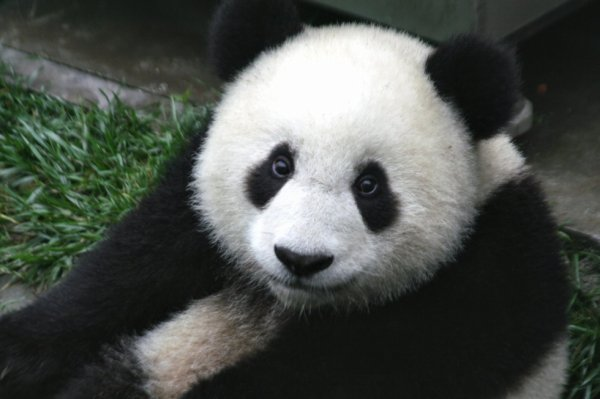 @InfoConservation @Le Panda G�ant ?