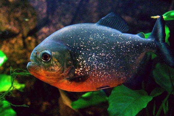 🎃 ►Le Piranha Rouge
