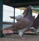 Photo de GG-pigeon-voyageur