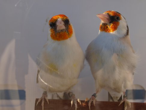 mon couple major eumo porteur de tete blanche pour 2012