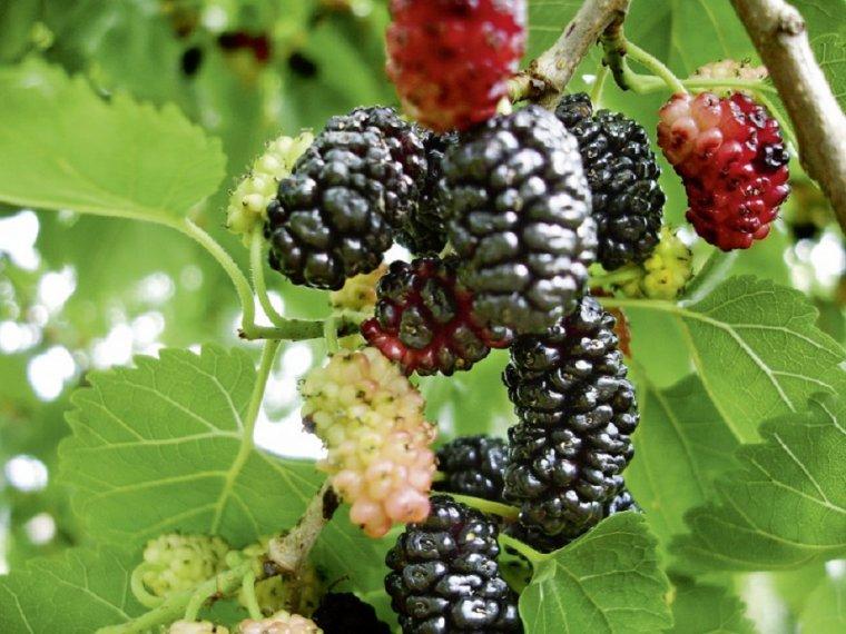 M rier noir nature gastronomique et m dicinale - Arbre murier fruit comestible ...