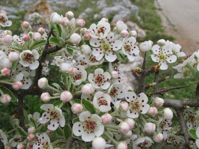 Poirier feuilles d 39 amandier nature gastronomique et for Pirus pianta