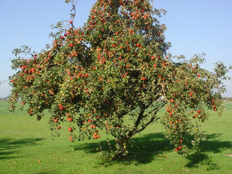 Pommier nature gastronomique et m dicinale - Maladie des arbres fruitiers ...