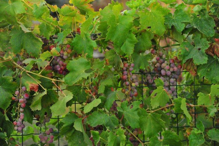 La vigne nature gastronomique et m dicinale - Tailler la vigne raisin de table ...