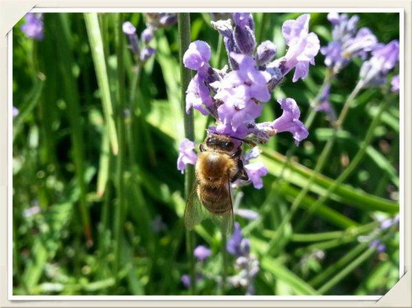 Une fleur, une abeille.