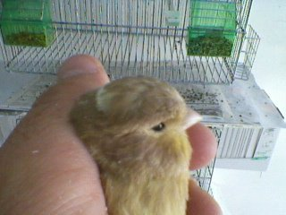 cinammon chick 2013 --22 days old