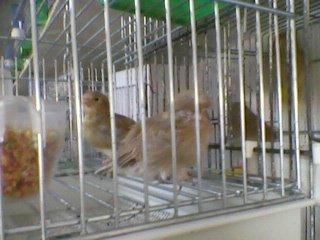 gloster chick 22 days old en sevrer