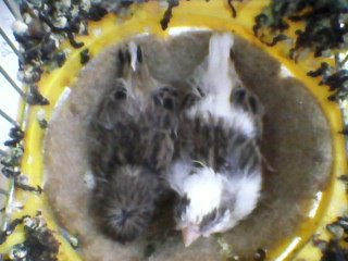 gloster chick 2013 -- 16 days old