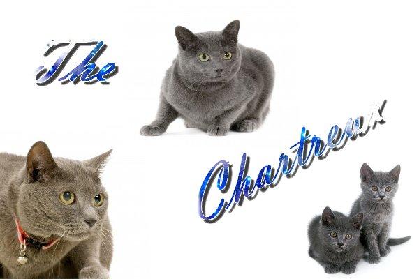 Le chartreux.