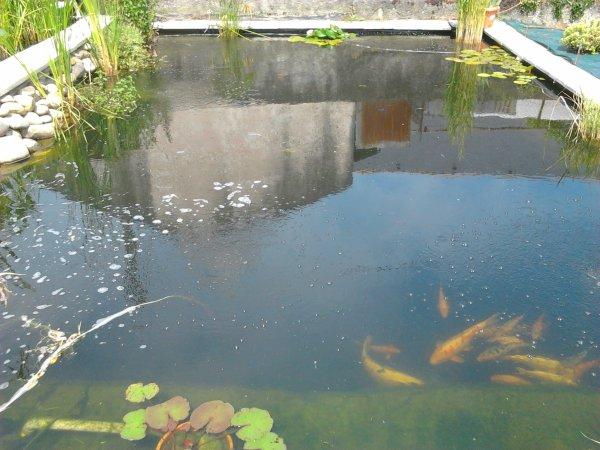 Mon nouveau bassin a carpe koi passion plumes for Bassin carpe koi hiver