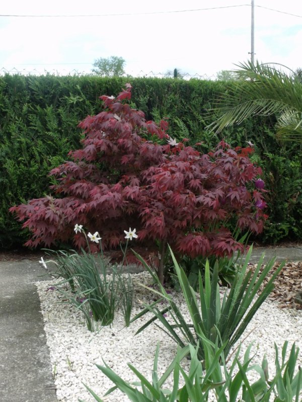 rable du japon 39 bloodgood les plantes de mon jardin. Black Bedroom Furniture Sets. Home Design Ideas