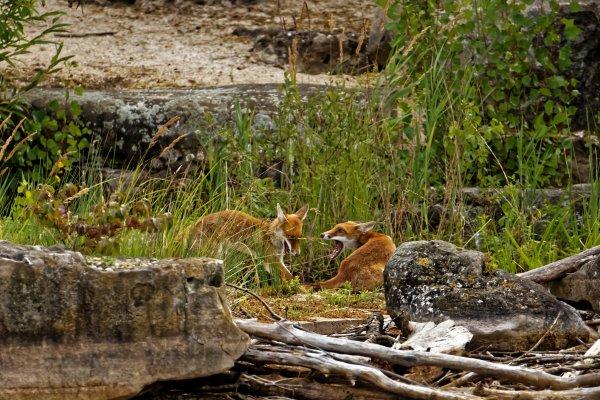 Encore une journ�e avec les renards