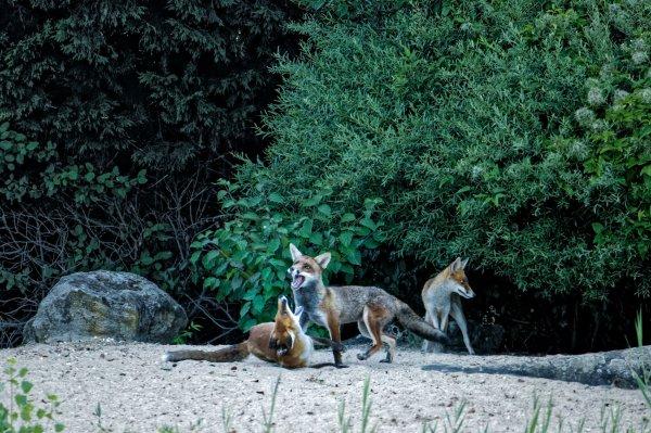 Et une de plus avec les renards , mais le jour se l�ve de plus en plus tard et les renards n'attendent pas la lumi�re.