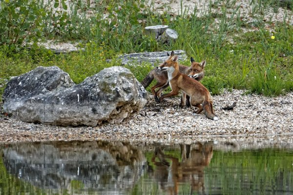 Renards suite pour la prem�re fois 4 renards ensemble