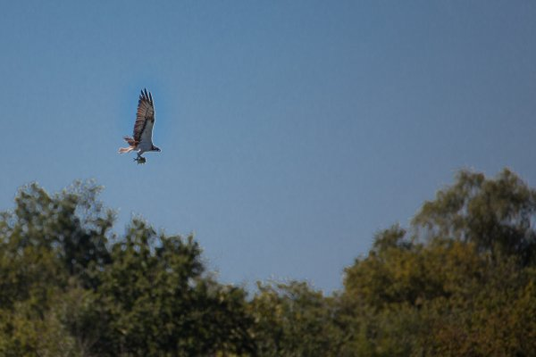 le balbuzard  p�cheur est venu aussi mais � plus de 150 m�tres.