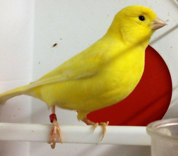 Hola os pongo unas fotos de Amarillos nevados 2012 que he criado este año, haber que os parecen