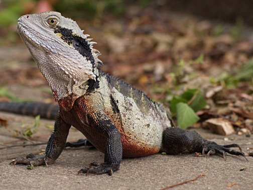 Australian Water Dragon Lizard: Physignathus Lesueurii (Dragon D'eau Australien