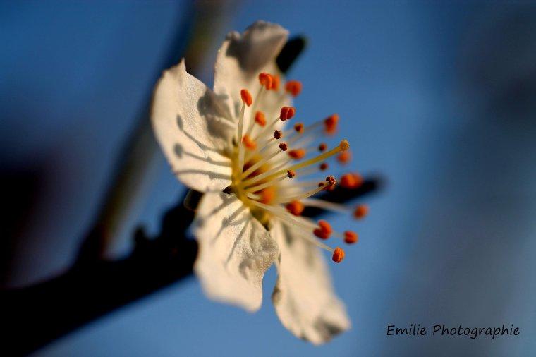 Fleur de mirabelliers
