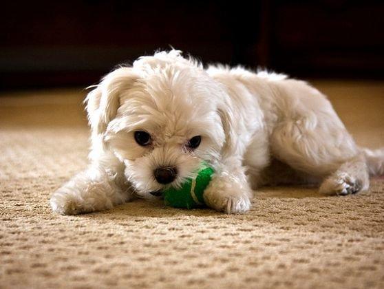 10 races de chiens qui peuvent vivre en appartement blog de itounany. Black Bedroom Furniture Sets. Home Design Ideas