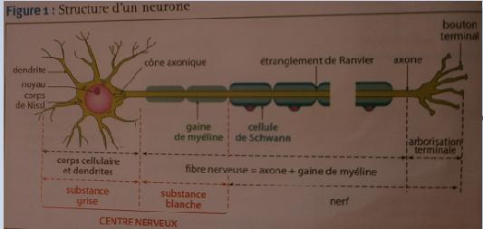 Nerve Synapse Pôle 3 : Chapitre...