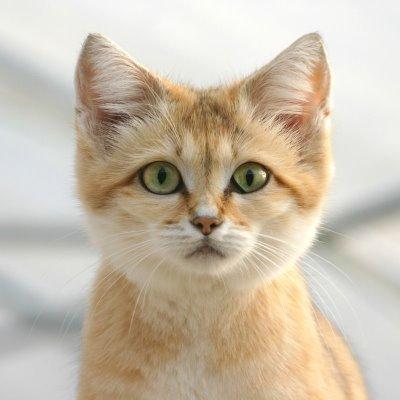 Blog de serval page 6 blog de serval - Chat des sables a vendre ...