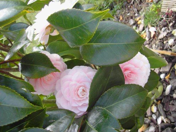 f�vrier , vivement le printemps ,d�ja l'�veil de la nature ....la beaut�  du camellia 'santa maria '.