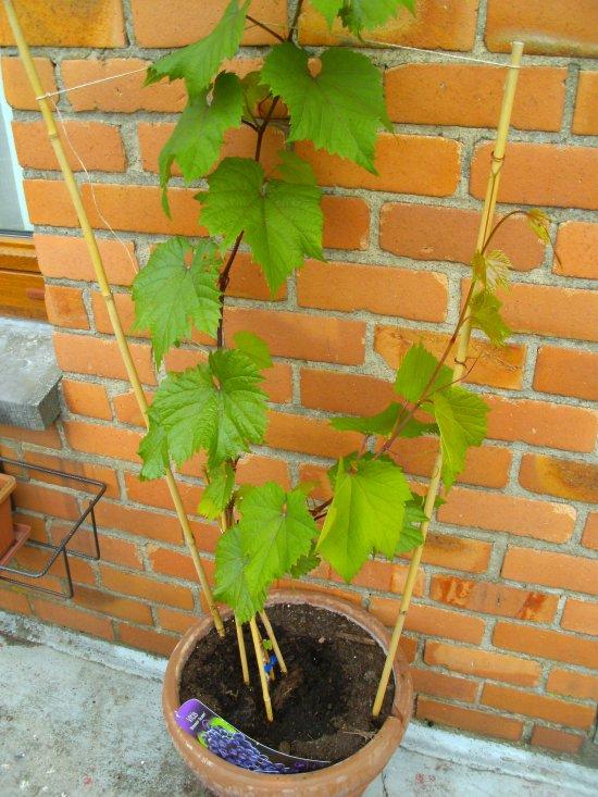 articles de virginie 376 tagg s quand planter une vigne. Black Bedroom Furniture Sets. Home Design Ideas