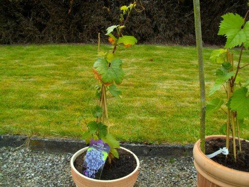 Articles de virginie 376 tagg s comment cultiver une - Pied de vigne en pot ...
