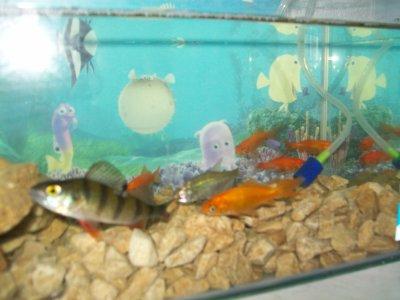 Et mon aquarium avec ma perche mon gardon et mes poisson for Poisson rouge aquarium 10l