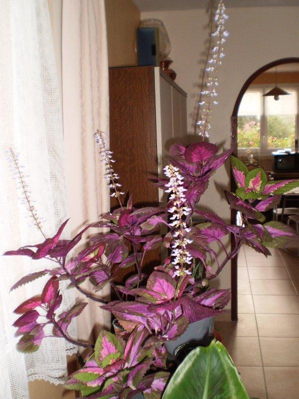 Mon coléus en fleur