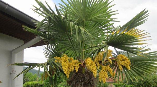 Palmier en fleurs patch passion - Quand tailler un palmier ...