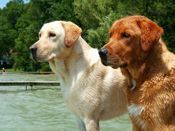 G�n�tique de la couleur des chiens