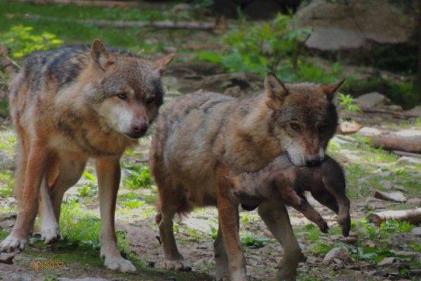 la famille  loups