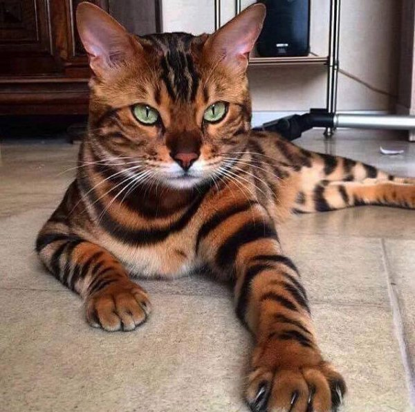 croisé avec un tigre ...