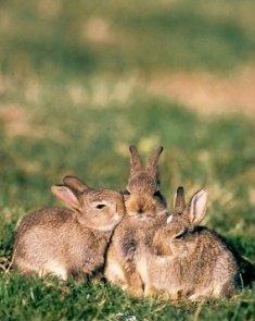 Le lapin de garenne blog de passioncynegetique - Cuisiner un lapin de garenne ...