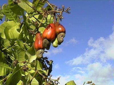 Noix cajou moa et ses photo des antilles et lyon for Portent ses fruits