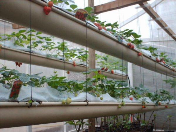 Culture des fraises hors sol association des jardins for Culture des jardins