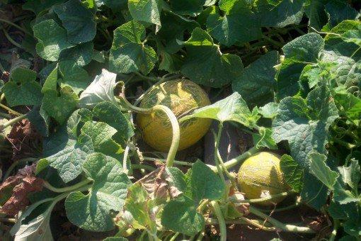 Quand et comment cultiver le melon association des - Quand cueillir un melon ...